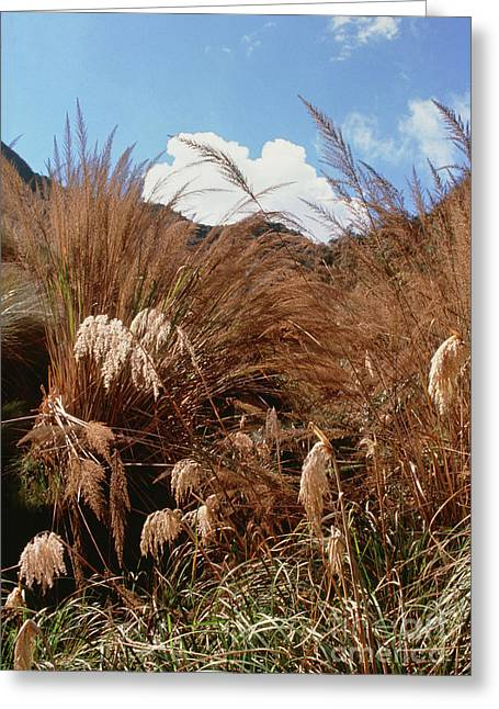Pampas Grass Greeting Cards - Pampas Grass Growing Wild Greeting Card by Sinclair Stammers