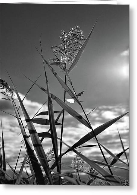 Pampas Grass Greeting Cards - Pampas Grass II Greeting Card by Angie Tirado