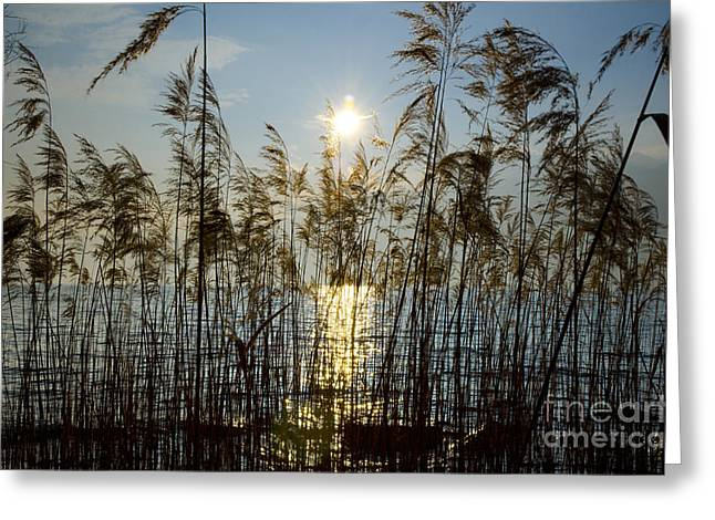 Pampas Grass Greeting Cards - Pampas grass in backlight Greeting Card by Mats Silvan