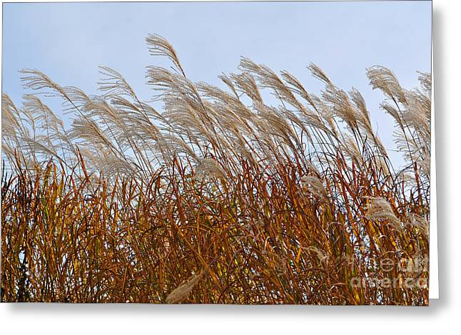 Pampas Grass Greeting Cards - Pampas Grass in the Wind 1 Greeting Card by Mary Machare