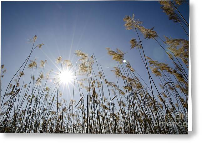 Pampas Grass Greeting Cards - Pampas grass Greeting Card by Mats Silvan