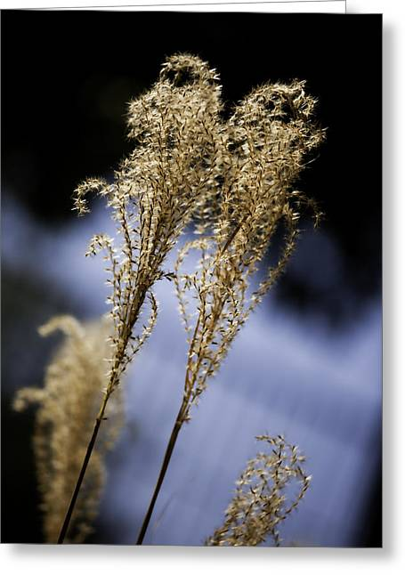 Pampas Grass Greeting Cards - Pampas Grass Wall Art Greeting Card by M K  Miller