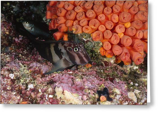 Reef Fish Greeting Cards - Panamic Fanged Blenny On Coral Reef Greeting Card by James Forte