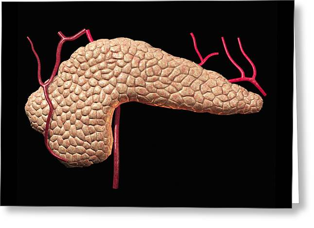 Gland Greeting Cards - Pancreas Greeting Card by Roger Harris