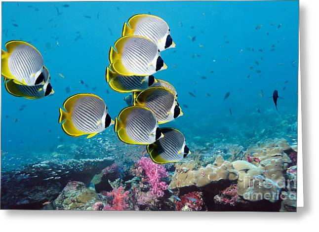 Reef Fish Greeting Cards - Panda Butterflyfish Greeting Card by Georgette Douwma and Photo Researchers
