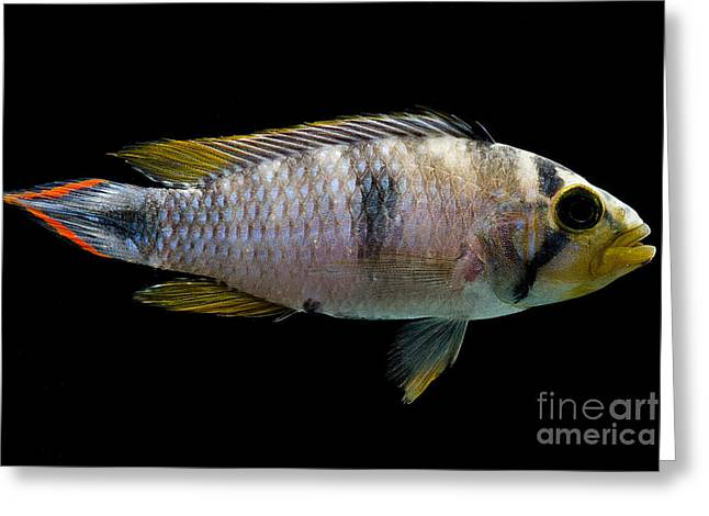 Aquarium Fish Greeting Cards - Pandurini Apistogramma Greeting Card by Danté Fenolio