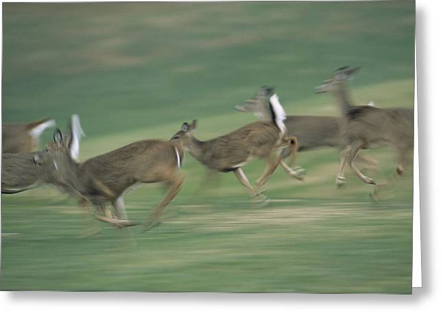 Panned Views Greeting Cards - Panned View Of White-tailed Deer Greeting Card by Michael Fay