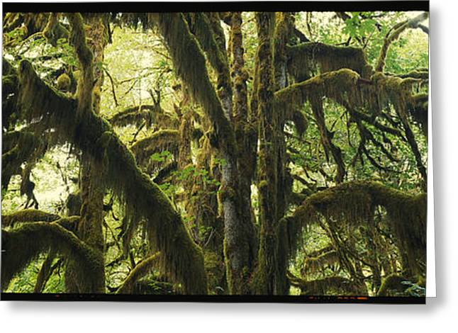 Lush Green Greeting Cards - Panoramic Scenic Of Moss-covered Trees Greeting Card by Kenneth Garrett