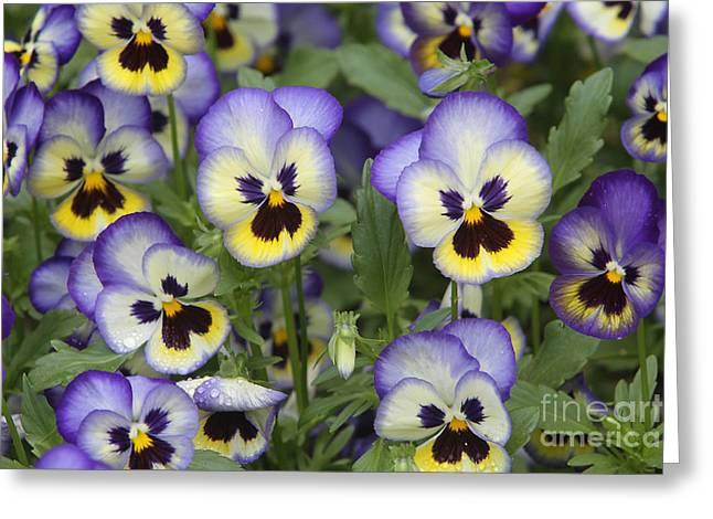 Johnny Jump Up Pansy Greeting Cards - Pansies Greeting Card by CJ McKendry