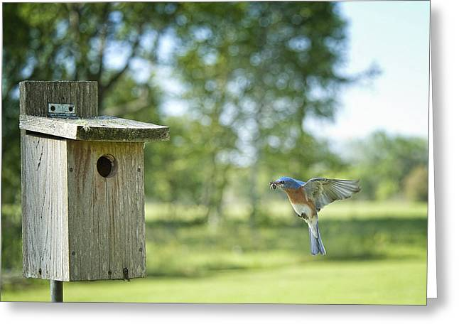 Baby Bird Greeting Cards - Papa Bluebird Bringing Supper Home Greeting Card by Bonnie Barry