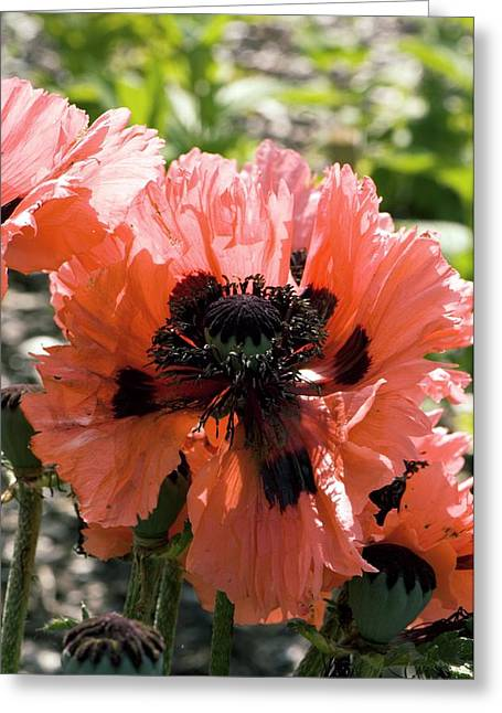 Papaver Orientale Greeting Cards - Papaver Orientale pink Ruffles Greeting Card by Adrian Thomas