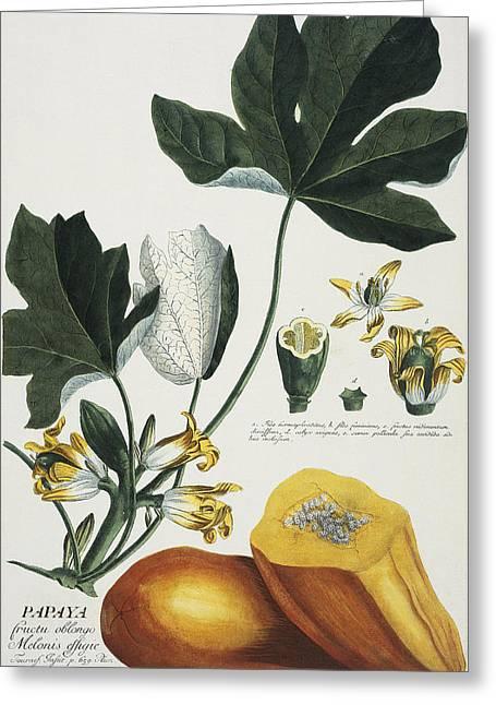 Papayas Greeting Cards - Papaya Greeting Card by Georg Dionysius Ehret