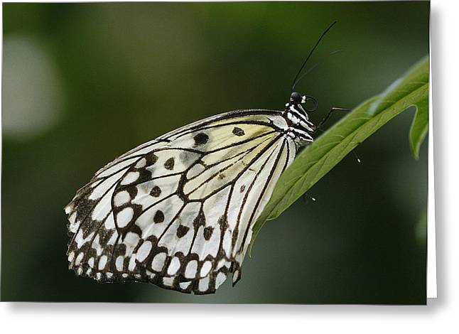 Kite Greeting Cards - Paper Kite Butterfly Greeting Card by Cindi Ressler