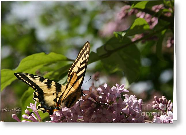 Tiger Dream Greeting Cards - Papilio glaucus   Eastern Tiger Swallowtail  Greeting Card by Sharon Mau