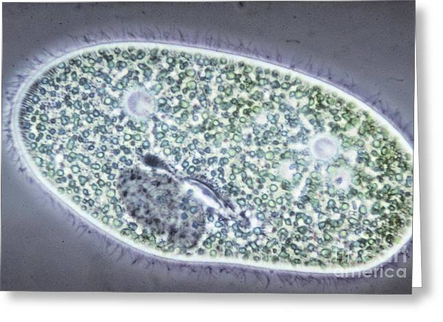 Dark Field Microscopy Greeting Cards - Paramecium Bursaria Greeting Card by M. I. Walker