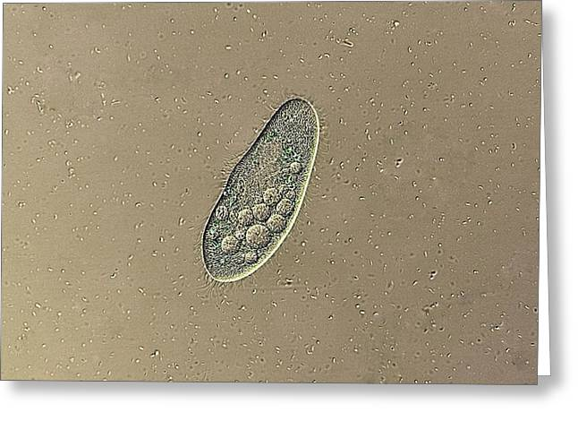 Photosynthetic Greeting Cards - Paramecium Protozoan, Light Micrograph Greeting Card by Jerzy Gubernator