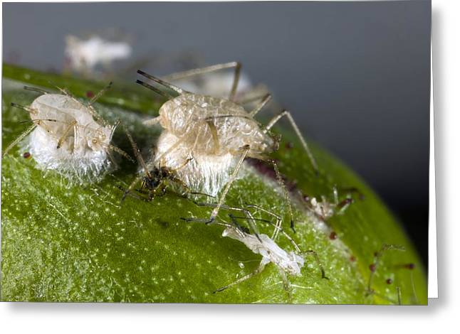 Cocoon Greeting Cards - Parasitised Aphids Greeting Card by Dr Keith Wheeler
