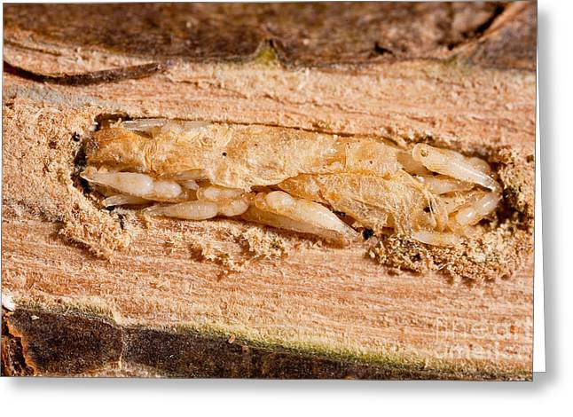 Insect Control Greeting Cards - Parasitized Ash Borer Larva Greeting Card by Science Source