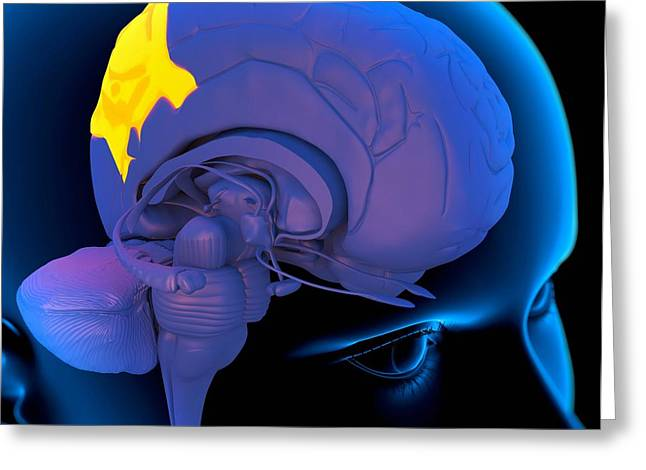 Psychological Background Greeting Cards - Parietal Lobe In The Brain, Artwork Greeting Card by Roger Harris