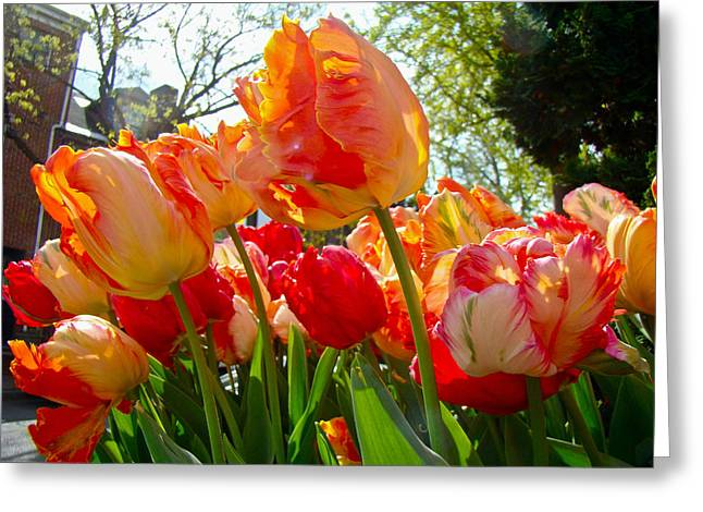Parrot Tulips in Philadelphia Greeting Card by Mother Nature