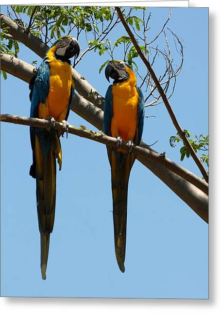 Macaw Art Print Greeting Cards - Parrots 223 Greeting Card by Joyce StJames