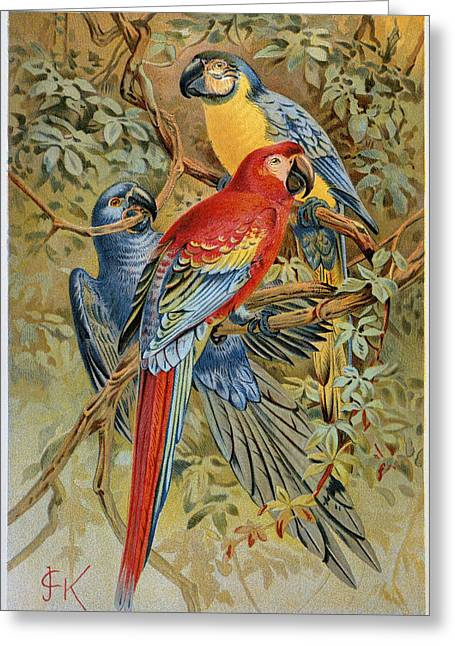 Blue Macaws Greeting Cards - PARROTS: MACAWS, 19th CENT Greeting Card by Granger