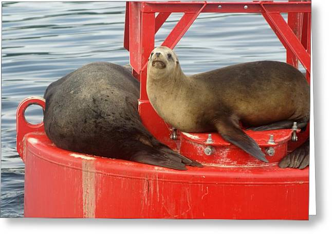 Sea Lions In The Ocean Greeting Cards - Partners Sunning Themselves Greeting Card by Robert Reasner