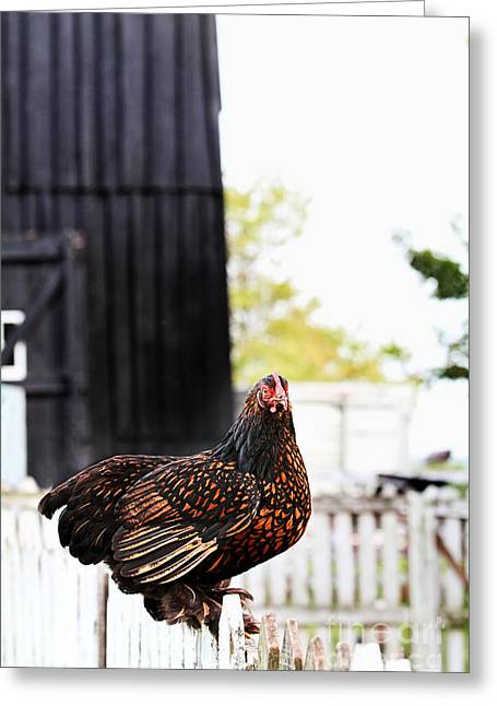 Fluffy Chickens Greeting Cards - Partridge Cochin Hen Greeting Card by Stephanie Frey
