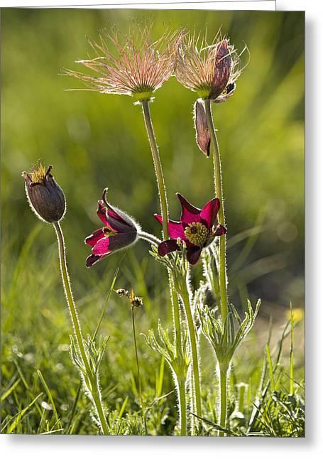 Achene Greeting Cards - Pasque Flower (pulsatilla Rubra) Greeting Card by Bob Gibbons