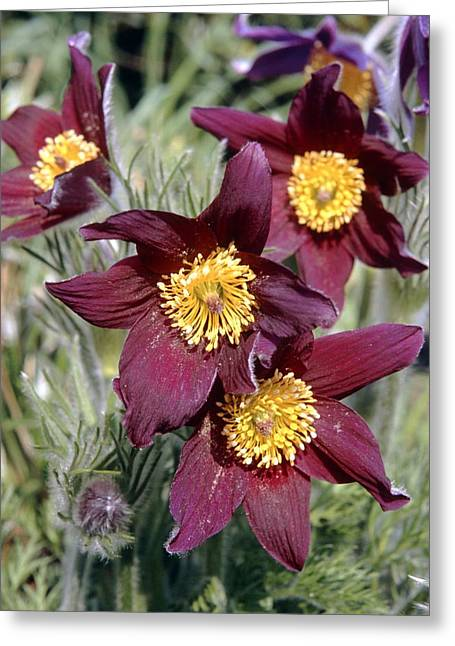 Common Pasque Flower Greeting Cards - Pasque Flower (pulsatilla Vulgaris) Greeting Card by Adrian T Sumner