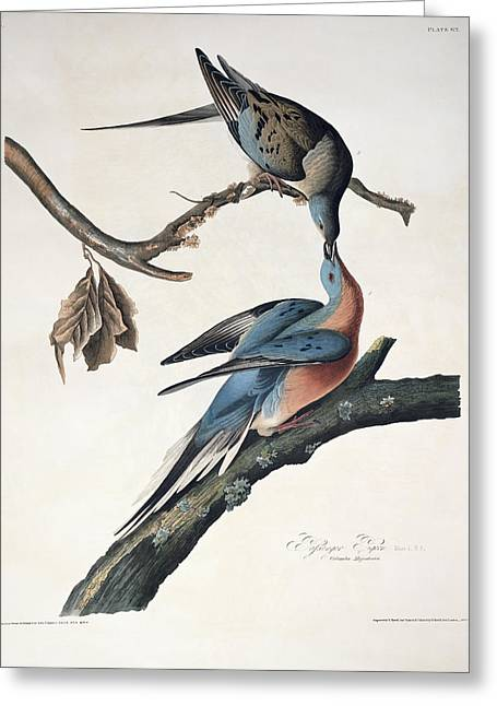 1851 Greeting Cards - Passenger Pigeon Greeting Card by John James Audubon