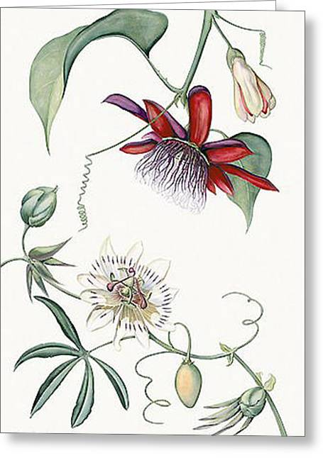 Passiflora Paintings Greeting Cards - Passiflora Quadrangulais and Cerule - TH26 Greeting Card by Tobias Hodson