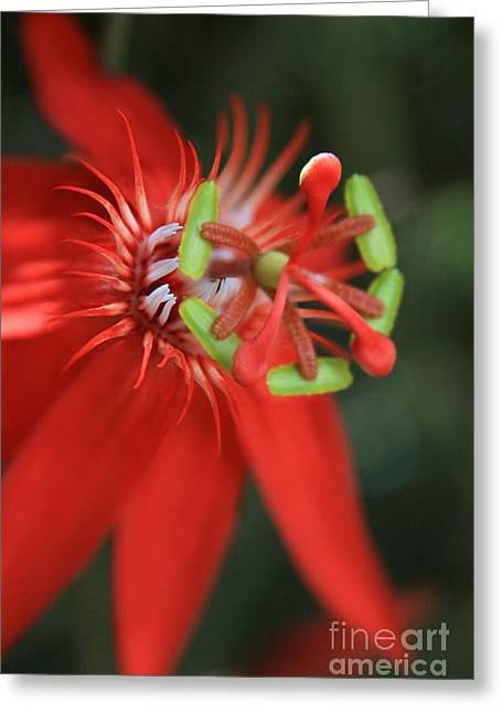 Lilikoi Greeting Cards - Passiflora vitifolia Scarlet Red Passion Flower Greeting Card by Sharon Mau