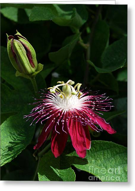 Passion Fruit Greeting Cards - Passion Flower Greeting Card by Eva Kaufman