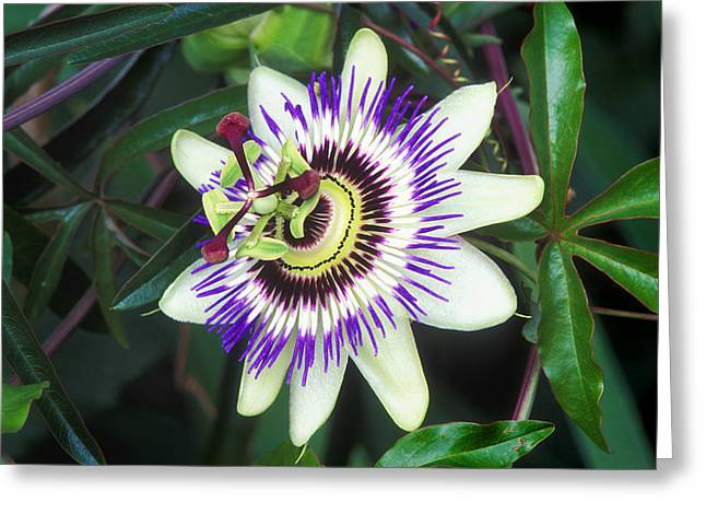 Passion Flower (passiflora Sp.) Greeting Card by Kaj R. Svensson