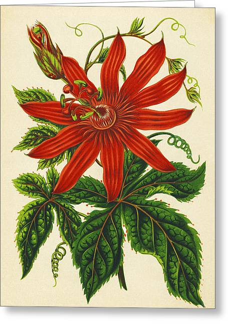 Tendrils Greeting Cards - Passion Flower Greeting Card by Sheila Terry