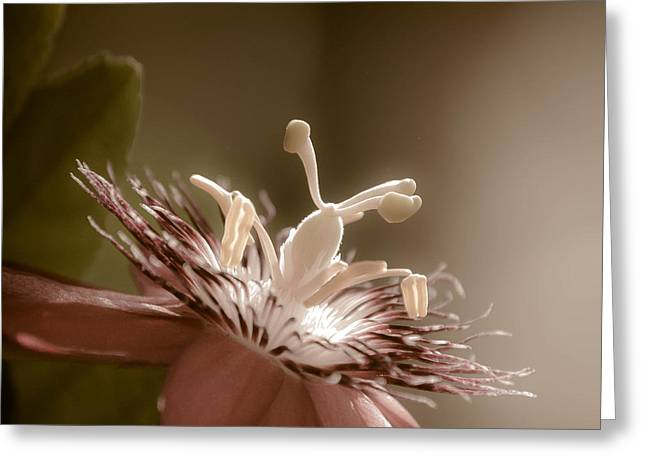 Green Burgandy Greeting Cards - Passion Flower Greeting Card by Trish Tritz