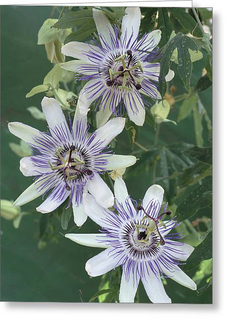 Vine Leaves Greeting Cards - Passion Flowers Greeting Card by Archie Young