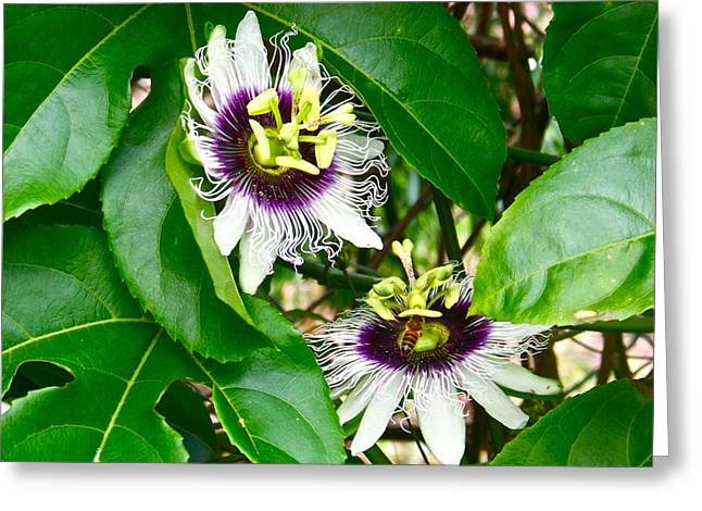 Lilikoi Greeting Cards - Passion Flowers Greeting Card by Bryn Berg