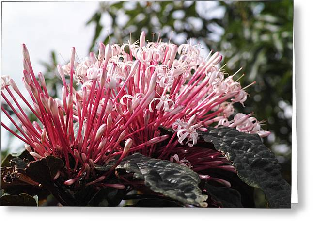 Flowers Miami Greeting Cards - Passion for Pink Greeting Card by Gary Dean Mercer Clark