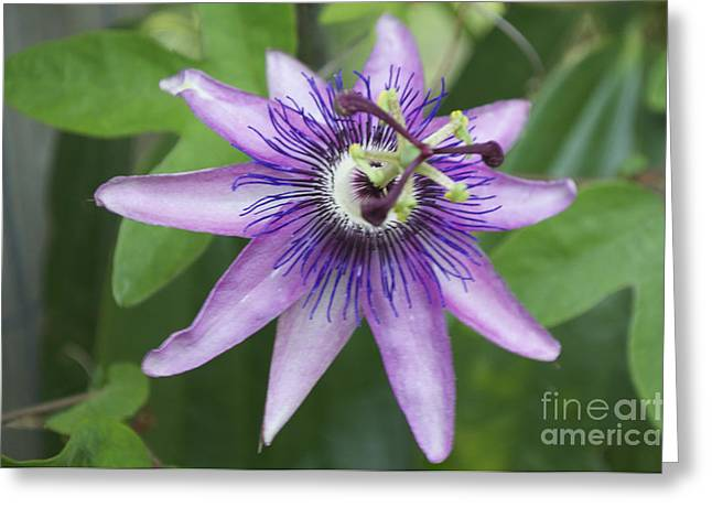Passion Fruit Greeting Cards - Passion Fruit Flower Greeting Card by Kim Frank