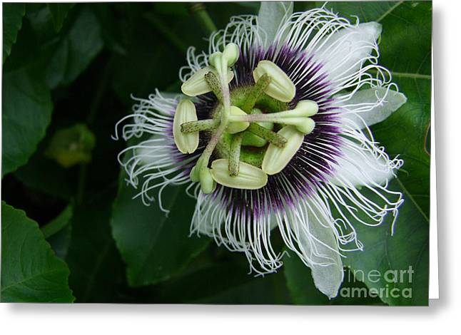 Passion Fruit Flower Greeting Card by Mary Deal