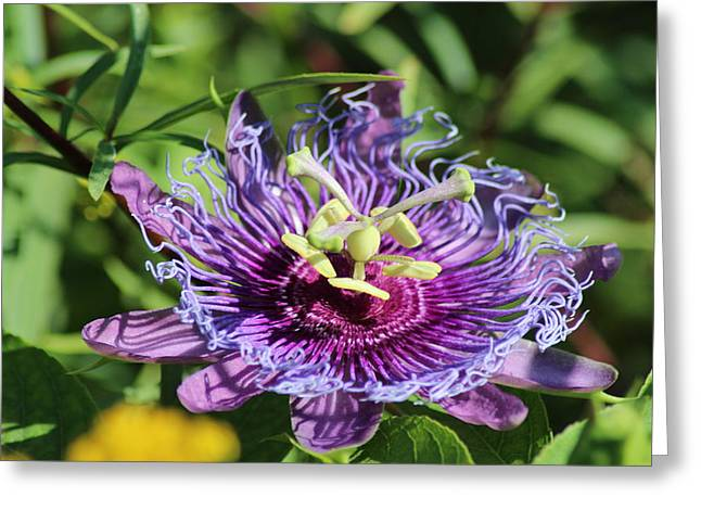 Passion Fruit Greeting Cards - Passion Fruit Flower Greeting Card by Norman  Cogswell