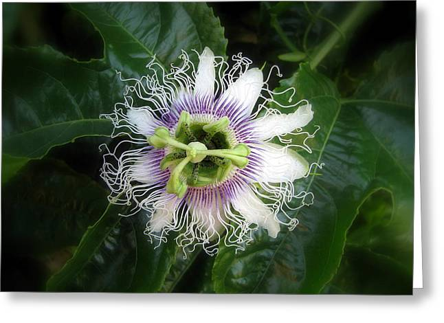 Passion Fruit Greeting Cards - Passion Fruit Flower Greeting Card by Robert Jenner
