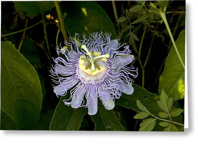 Passion Fruit Greeting Cards - Passion fruit Greeting Card by Leo Miranda