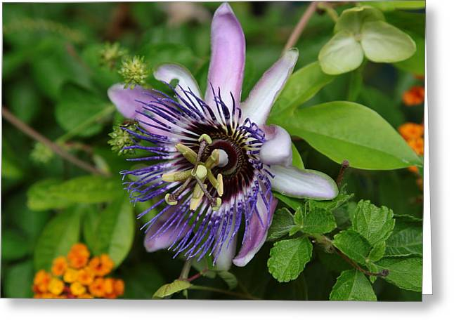 Passion Fruit Greeting Cards - Passion Fruit Vine Flower Greeting Card by Jim Vansant