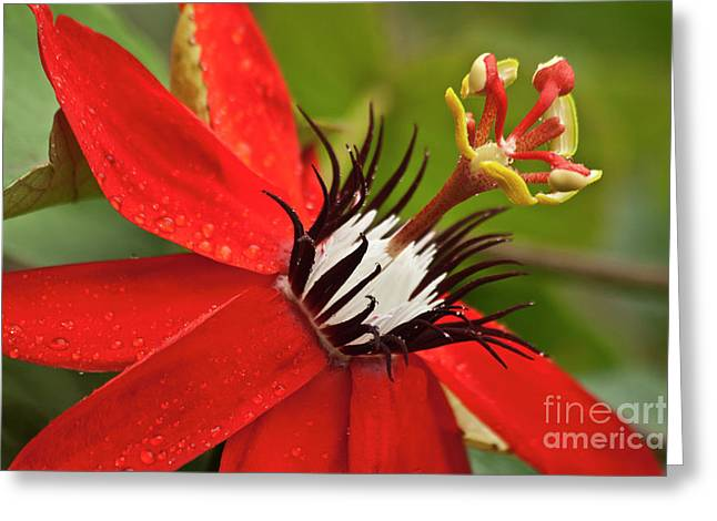 Passiflora Greeting Cards - Passionate flower Greeting Card by Heiko Koehrer-Wagner