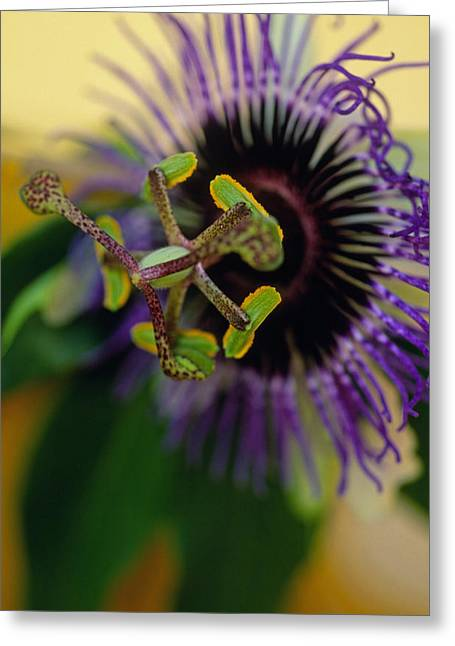 Passiflora Greeting Cards - PASSIONate Flower Greeting Card by Kathy Yates