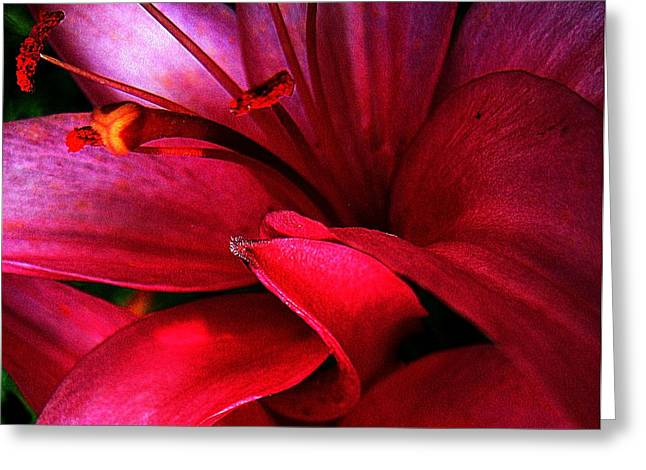 Passionate Lily Greeting Card by Shirley Sirois