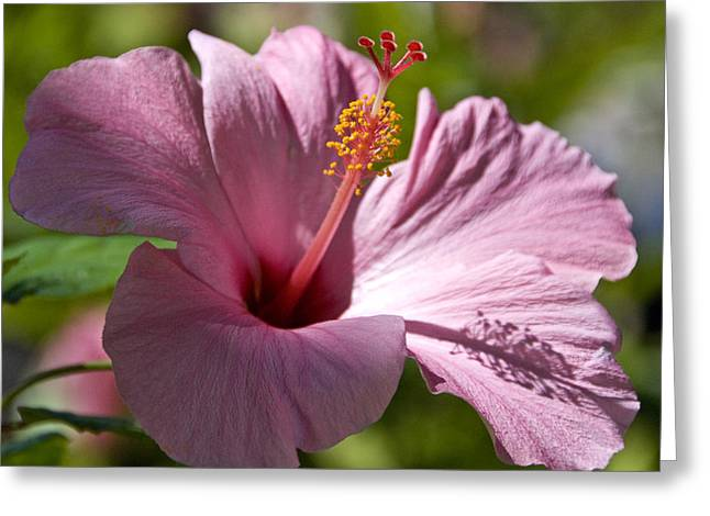 Fushia Greeting Cards - Passionate Pink Greeting Card by Chris Ann Wiggins